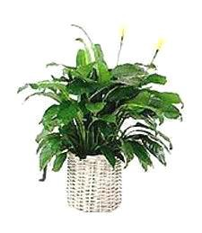 Blooming Get Well Peace Lily